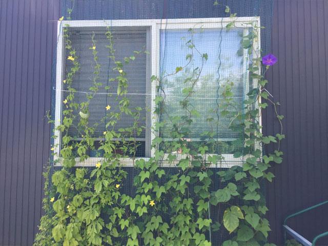 7月初旬のグリーンカーテン